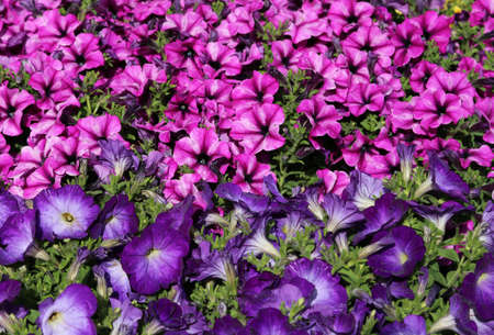 funnel shaped: purple and violert petunia flowers in the market in summer Stock Photo