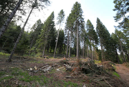 deforestation: deforestation of conifers and beech trees in the mountains Stock Photo