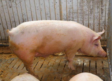 fat pigs: big and fat pigs in a sty on a farm