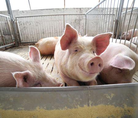 cerdos grandes y grasa en una pocilga en una granja