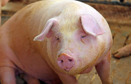 grunter: large snout of the pig in the pigsty on the farm Stock Photo