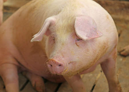 pigsty: large snout of the pig in the pigsty on the farm Stock Photo