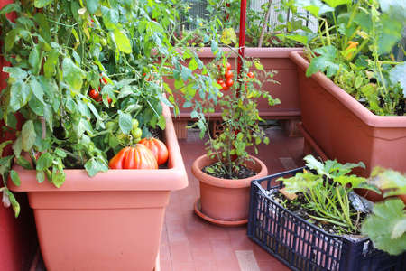 Plants of red tomatoes and zucchini in the big pots of an urban plants of red tomatoes and zucchini in the big pots of an urban garden in the workwithnaturefo