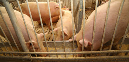 grunter: big and fat pigs in a sty on a farm