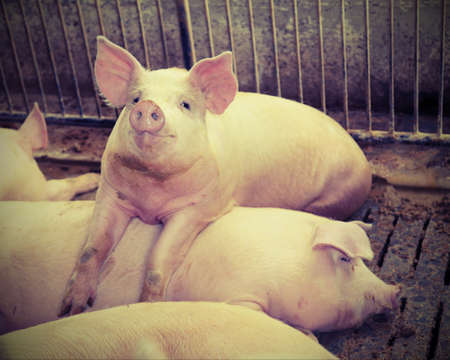 big and fat pigs in a sty on a farm
