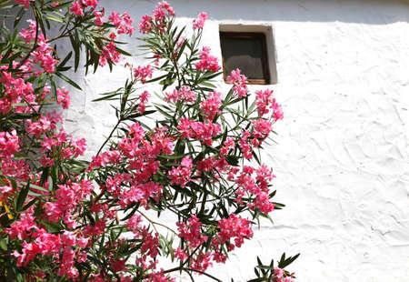 beautiful oleander flower in the garden of Mediterranean white house Stock Photo