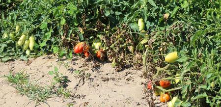 tomates mûres rouges dans le jardin de la ferme en été