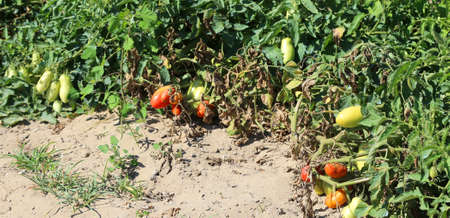 red ripe tomatoes in farm garden in summer