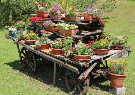 chariot: old wooden chariot decorated with many pots of flowers in summer