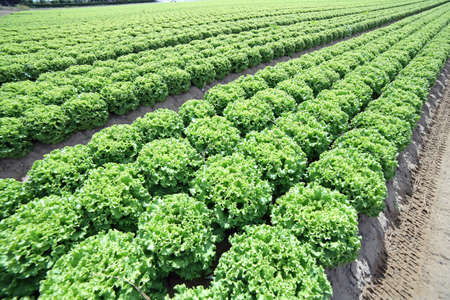 grown: huge field of green lettuce grown on soil with sand