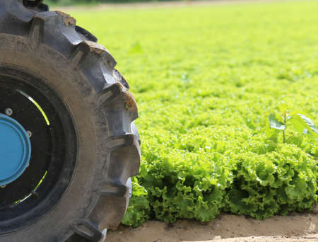 wheel tractor: big wheel tractor in the field of green lettuce grown