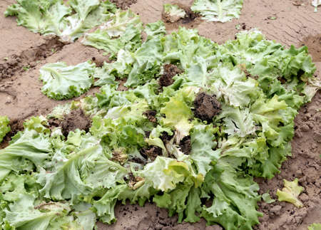rot: green rot lattuce leaves abandoned polluted field