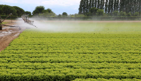 the po valley: automatic watering system of a cultivated field of green lettuce in summer Stock Photo