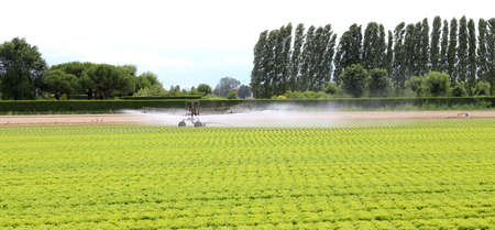 the po valley: automatic irrigation system of a cultivated field of green lettuce in summer