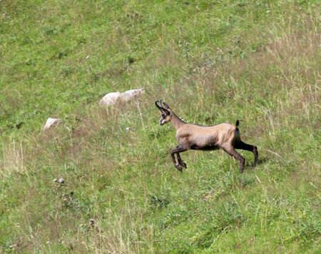 flee: fast chamois runs on the grass in the mountains to get away from hunters Stock Photo
