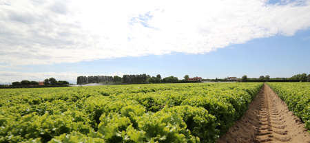 huge field of lettuce grown on soil with sand in summer