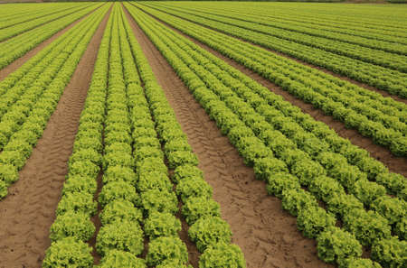 grown: lush lettuce grown on soil with sand in summer