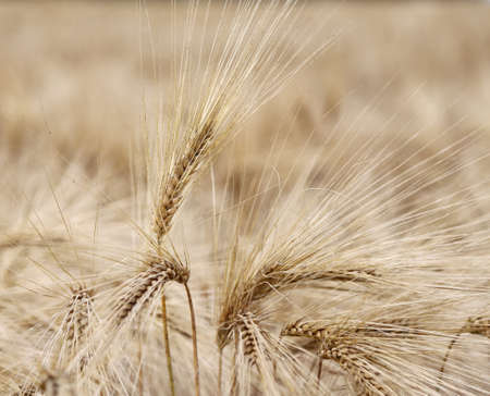 coeliac: large mature wheat ears in the wide field Stock Photo