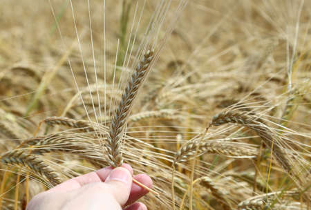 hand of the farmer holds mature ear of wheat with cultivated field in the background Stock Photo