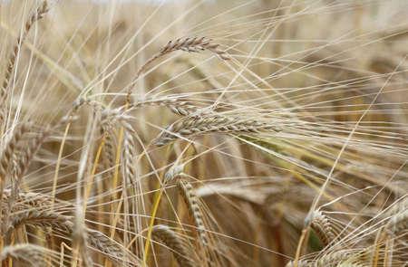 large yellow ripe wheat ears in the wide field