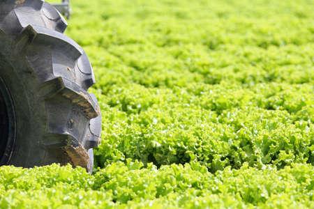 big wheel: big wheel tractor in the field of green lettuce grown in summer Stock Photo