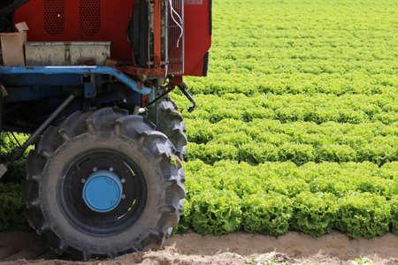 wheel tractor: big wheel tractor in the field of lettuce grown in summer Stock Photo