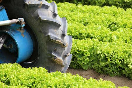wheel tractor: big wheel tractor in the field of lettuce grown