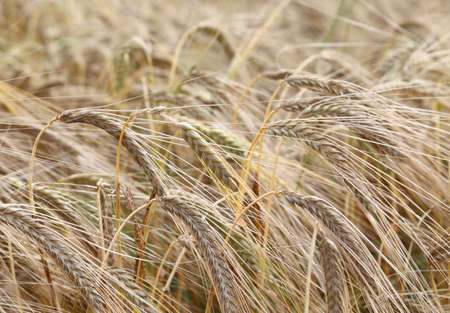 large yellow mature wheat ears in the wide field in summer Stock Photo