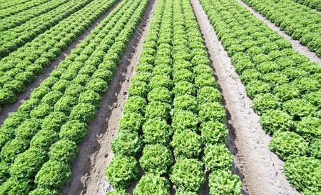 lactuca: lettuce grown on soil with sand in summer Stock Photo