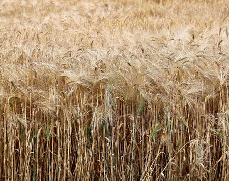 intolerant: yellow ripe wheat ears in the field in summer