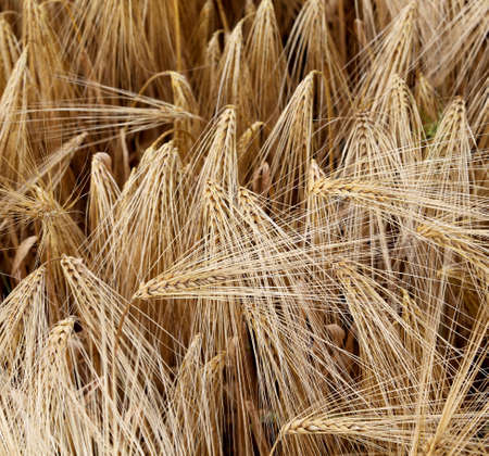 large ripe wheat ears in the wide field in summer Stock Photo