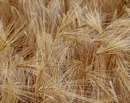 intolerancia: grandes espigas de trigo maduro de color amarillo en el campo de ancho Foto de archivo