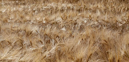coeliac: large yellow ripe wheat ears in the wide field