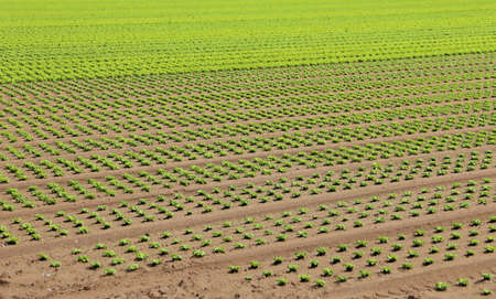 gro: huge field of green lettuce grown on soil with sand in summer