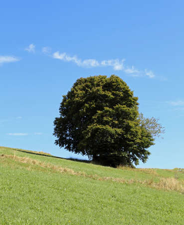 Big isolated tree in the hill and green meadow