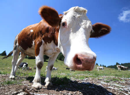 big nose cow photographed by fisheye lens