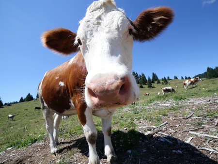 fish husbandry: nose of the big brown cow pasture in the high mountain Stock Photo