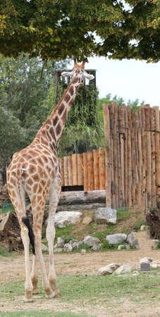 tall giraffe with a long neck eats outdoor Stock Photo