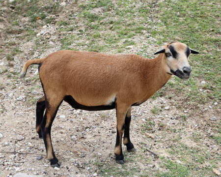 ovine: kid with brown hair and small black ears