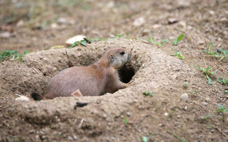suelo arenoso: fearful prairie dog goes out its burrow dug in the sandy soil