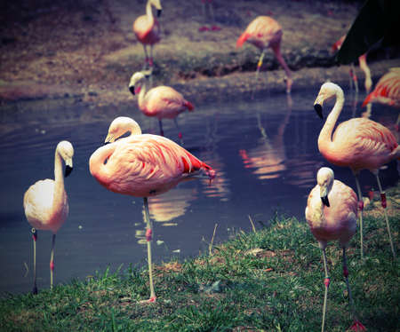 many pink flamingos are resting on one leg with lomo effect