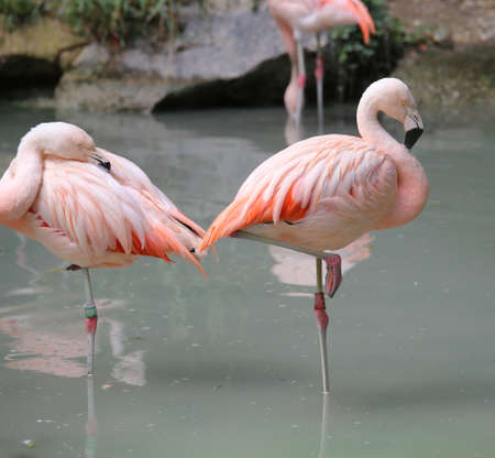 fat bird: large pink flamingos resting on one leg on the bank of the pond Stock Photo