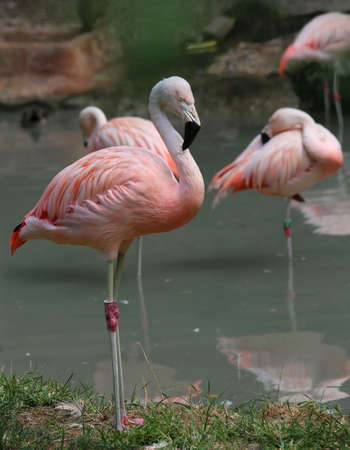 fat bird: beautiful flamingo with pink and white feathers and long beak on the shore of the pond Stock Photo