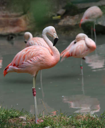 fat bird: beautiful pink flamingo with colored feathers and long beak on the shore of the pond