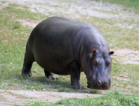 fat hippo with shiny skin and small ears while eating the grass