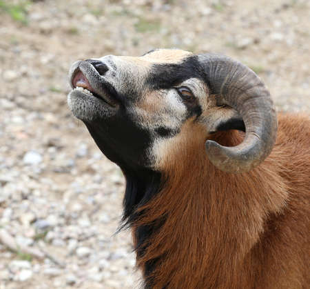 young ram with large curved horns while smiling