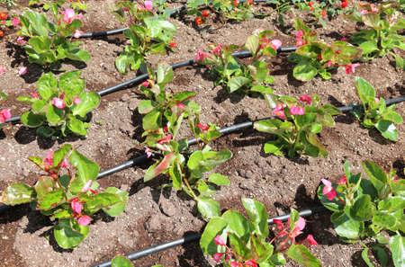 Parterre de fleurs avec système d'arrosage automatique et quelques fleurs roses Banque d'images - 64480271