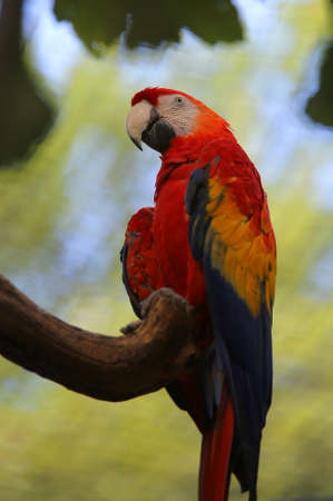 big parrot with red feathers in the chest on the tree