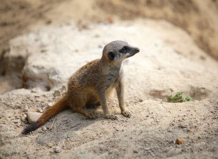 small meerkat standing on the rock of the desert and controls its territory in search of prey Stock Photo