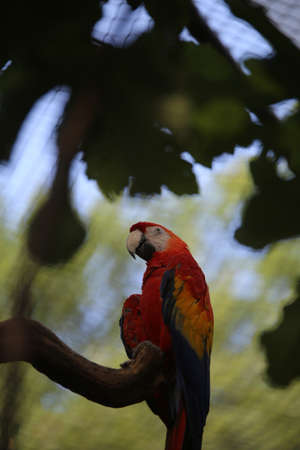 ara: colorful macaw parrot ara with long beak perch on tree Stock Photo